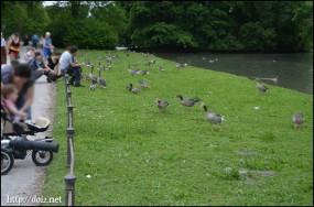 エングリッシャーガルテン(英国庭園)の鴨