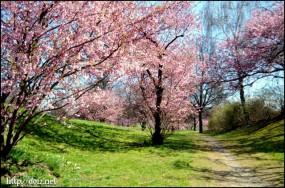 4月始め、オリンピアパークの桜