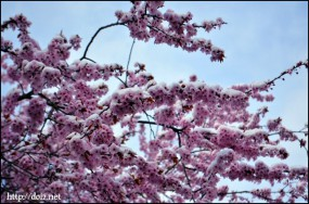 4月始め、桜が咲いたけど雪も降った。