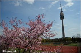 オリンピアパークの桜(4月3週目)