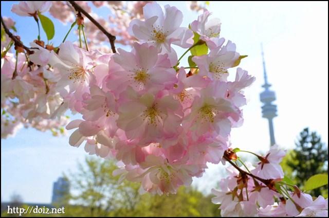 オリンピアパークの桜