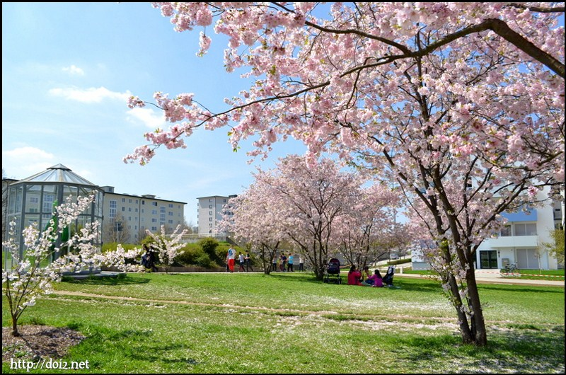 Petuelparkの桜
